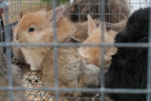 Baby Angora Bunnies
