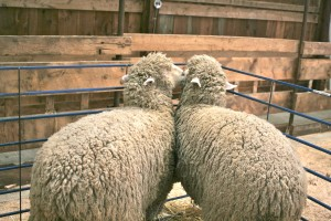 NH Sheep and wool sheep